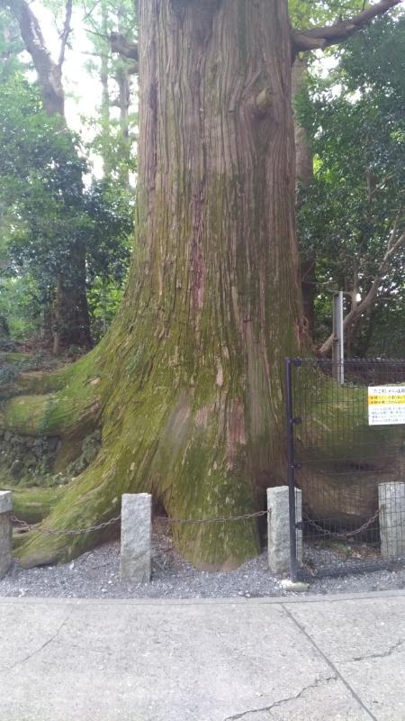たこ杉の写真